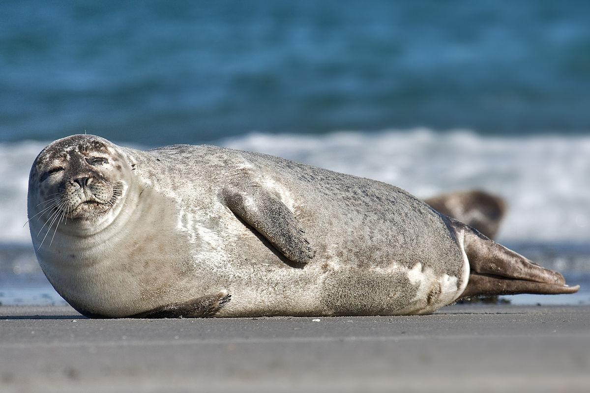 1200px-Common_Seal_Phoca_vitulina.jpg