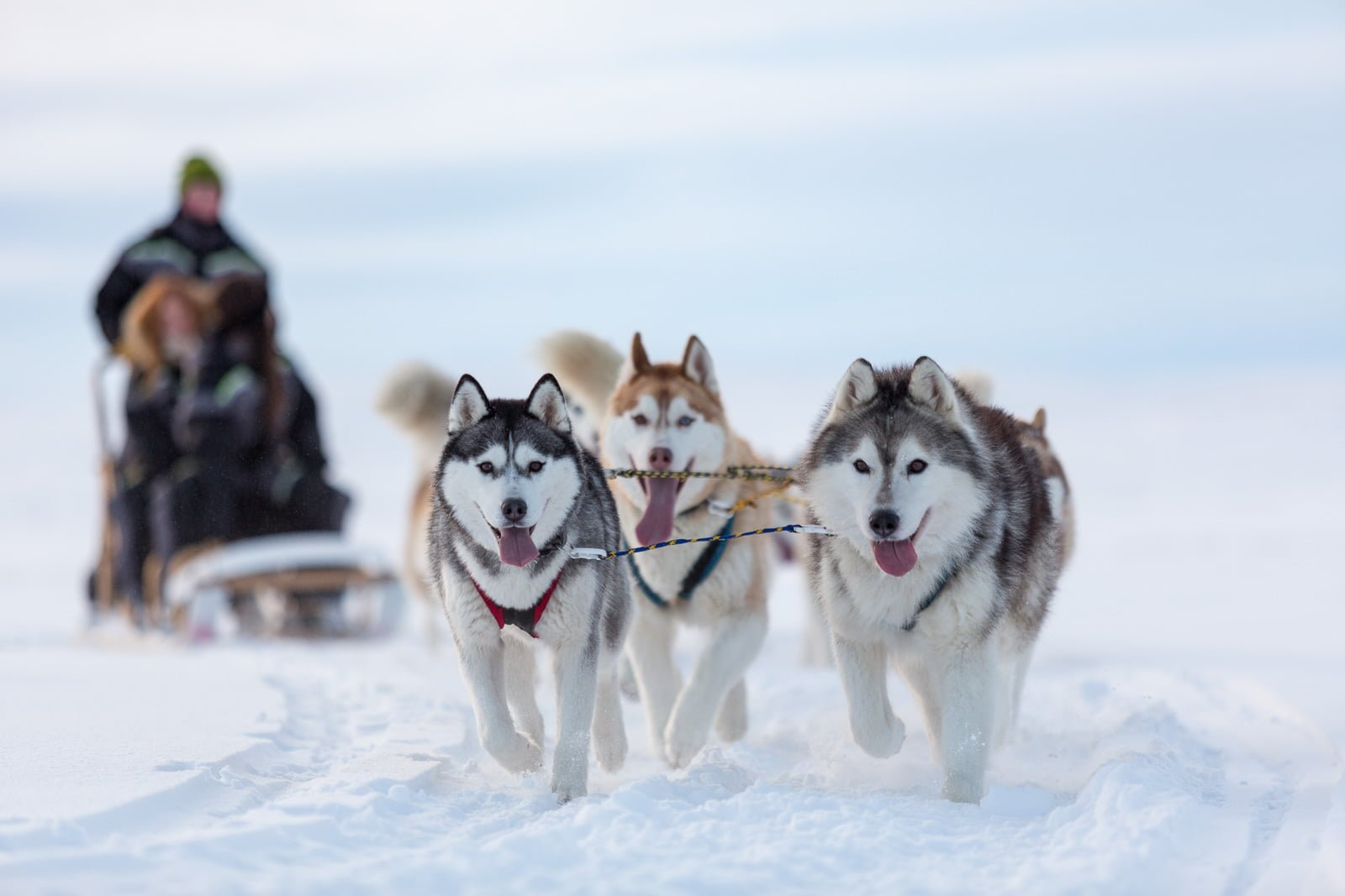 Huskies Unchained: A Day Of Dog Sledding In Northern ...