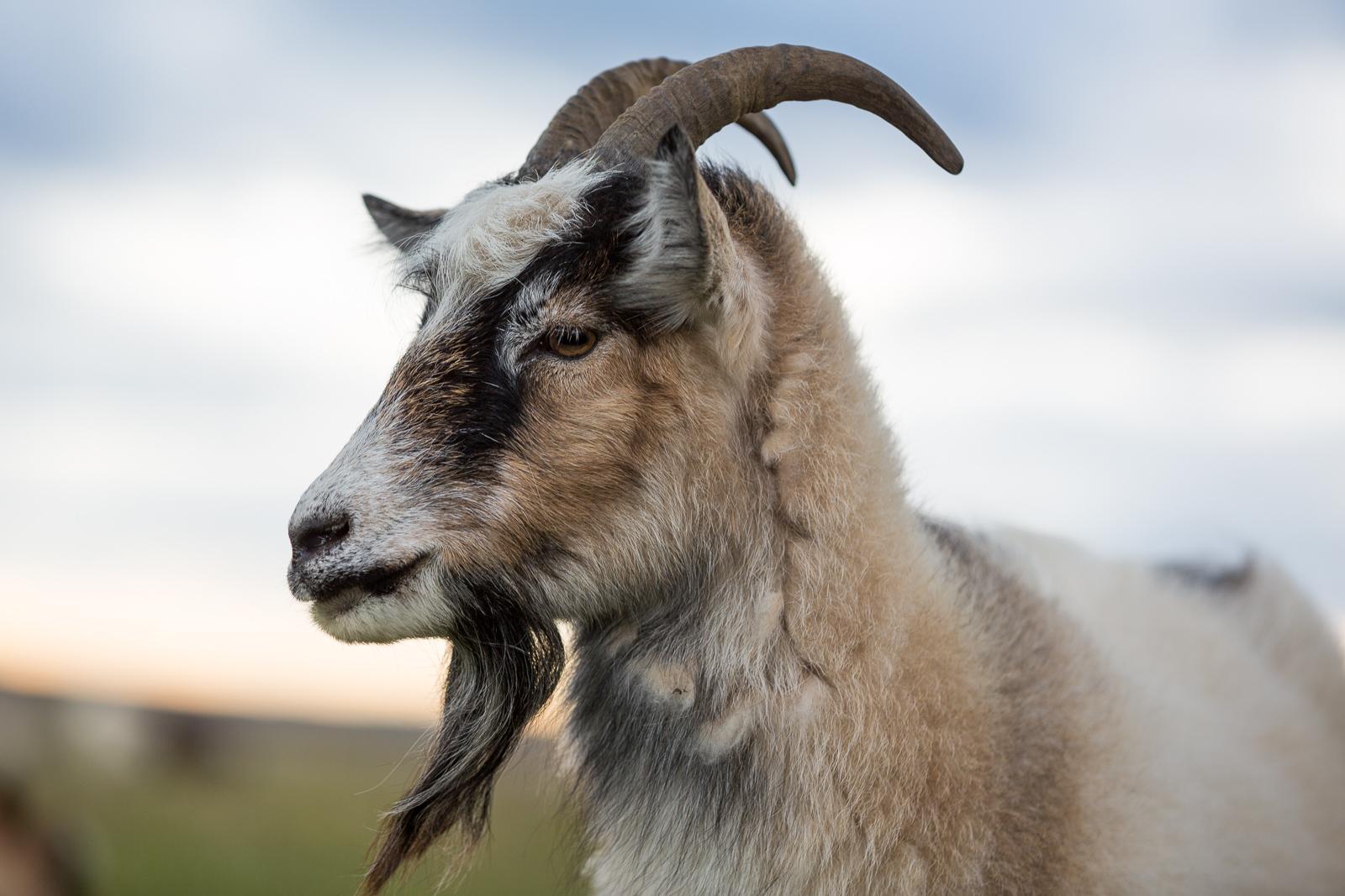 goat - photo #23